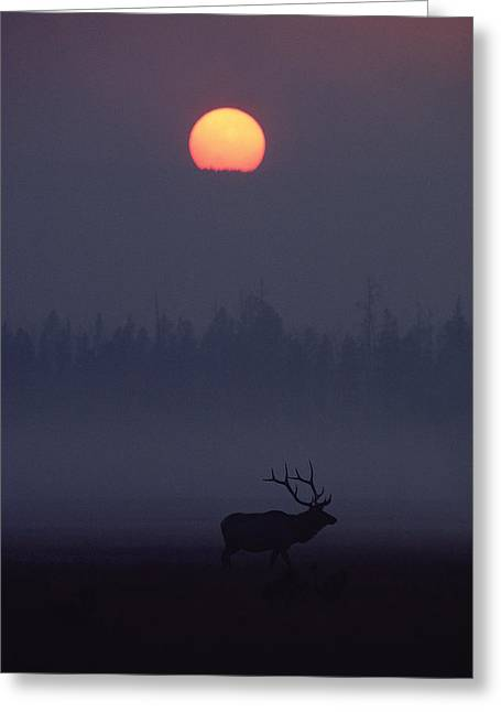 Forest Habitat Greeting Cards - Elk Cervus Elaphus Silhouetted And Sun Greeting Card by Michael Quinton