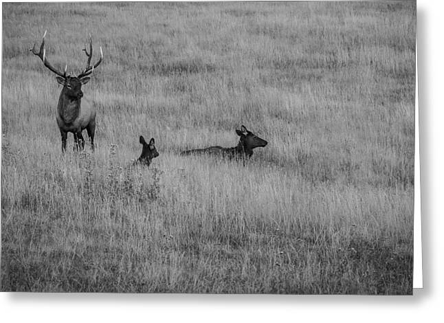 Bulls Pyrography Greeting Cards - Elk Family in Meadow BW Greeting Card by Rick Strobaugh