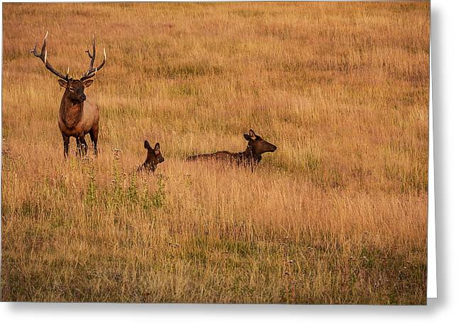Bulls Pyrography Greeting Cards - Elk Family in Meadow Greeting Card by Rick Strobaugh