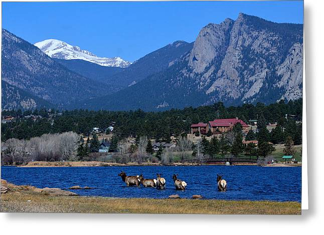 Mummy Range Greeting Cards - Elk in Lake Estes 1 Greeting Card by Tranquil Light  Photography