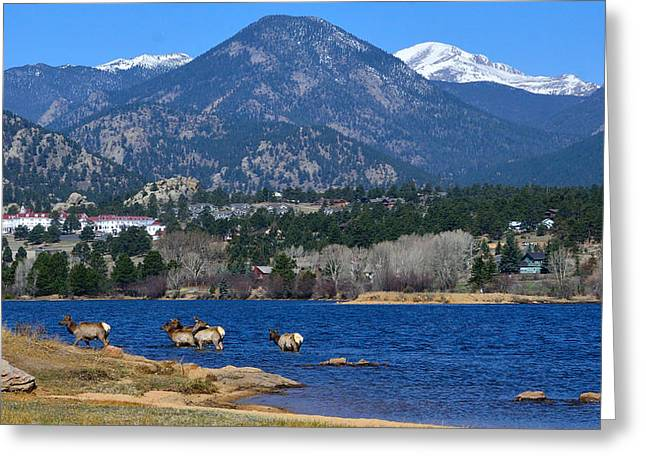 Mummy Range Greeting Cards - Elk in Lake Estes 2 Greeting Card by Tranquil Light  Photography