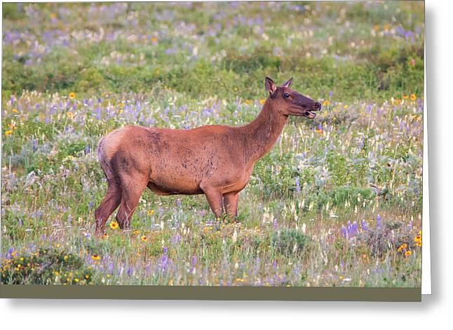 Elk In The Wildflowers Greeting Card by Loree Johnson