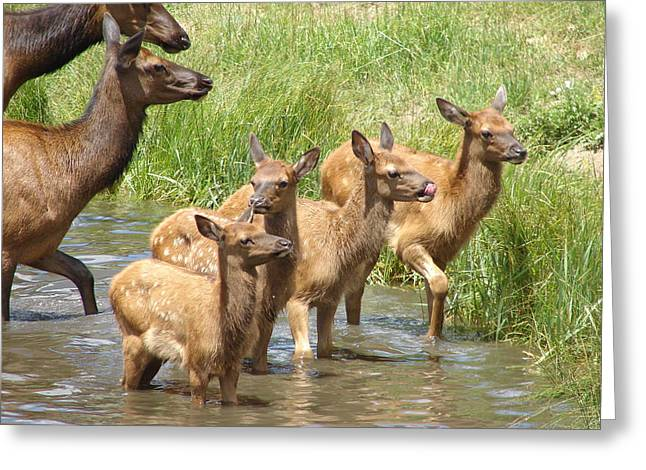 Rainbow Trout Greeting Cards - Elk Water Babies in Evergreen Colorado Greeting Card by Phyllis Ezit