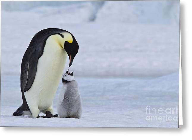 Emperor Penguin And Chick Greeting Card by Jean-Louis Klein & Marie-Luce Hubert