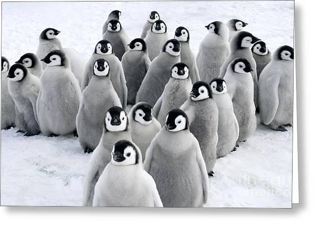 Emperor Penguin Aptenodytes Forsteri Greeting Card by Jan Vermeer