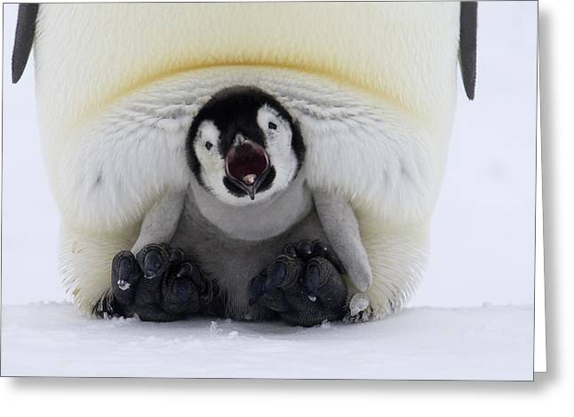 Emperor Penguin Aptenodytes Forsteri Greeting Card by Rob Reijnen