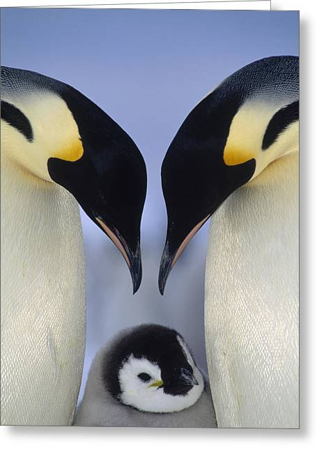 Aptenodytes Greeting Cards - Emperor Penguin Family Greeting Card by Tui De Roy