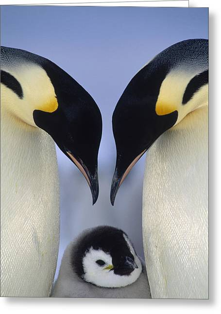 Emperor Penguin Family Greeting Card by Tui De Roy