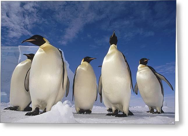 Aptenodytes Forsteri Greeting Cards - Emperor Penguins Antarctica Greeting Card by Tui De Roy