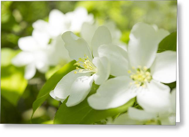Faa Exclusive Greeting Cards - Encyclopedia of spring Image apple blossom  Greeting Card by Irina Effa