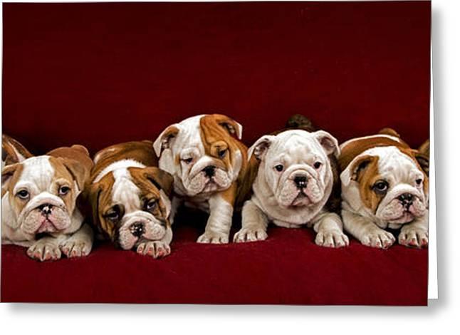Full-length Portrait Greeting Cards - English bulldog puppies Greeting Card by Borislav Stefanov