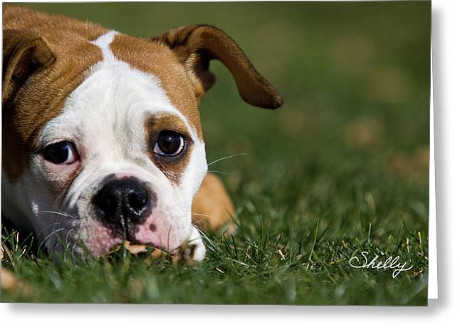 British Bulldog Greeting Cards - English Bulldog Greeting Card by Shelly OBrien