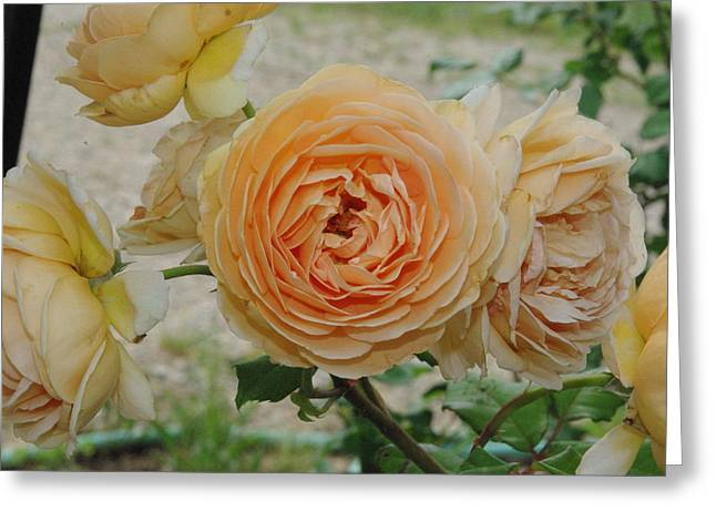 English Rose Apricot Crown Princess Margareta 2 Greeting Card by Robyn Stacey