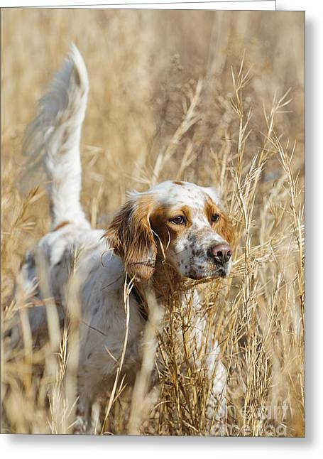 Setter Pointer Greeting Cards - English setter Greeting Card by Chip Laughton