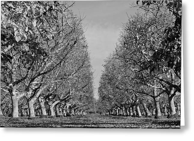English Walnut Orchard  Greeting Card by Pamela Patch