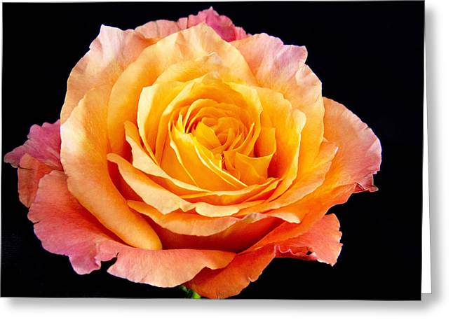 Enticing Beauty The Orange  Rose Greeting Card by Daphne Sampson
