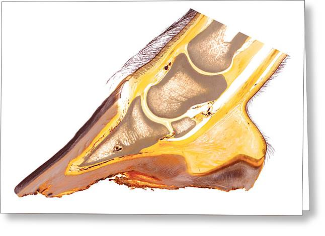 Feet Sculptures Greeting Cards - Equine foot anatomy 30215 Greeting Card by Christoph Von Horst