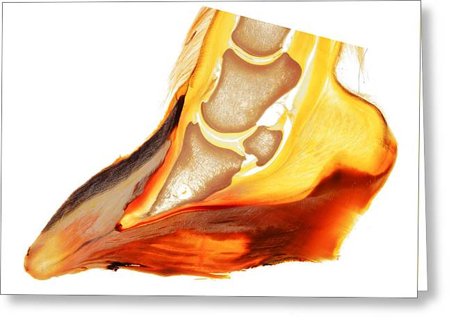 Treatment Sculptures Greeting Cards - Equine laminitis coffin bone rotation horse hoof print 30216 Greeting Card by Christoph Von Horst