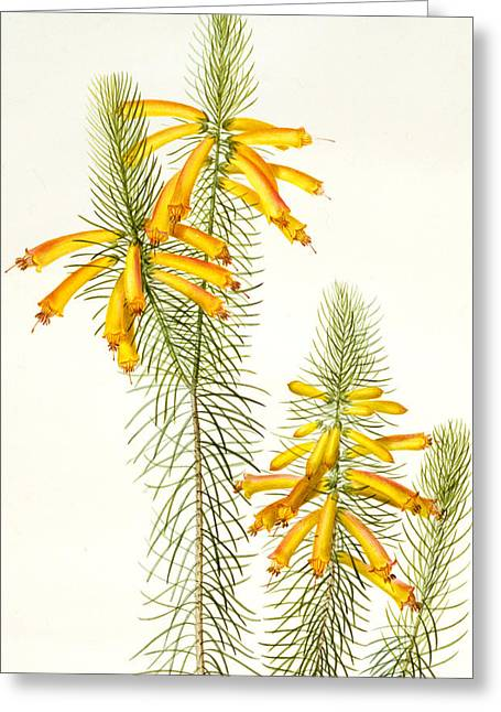 Redoute Drawings Greeting Cards - Erica Grandiflora Greeting Card by Pierre Joseph Redoute
