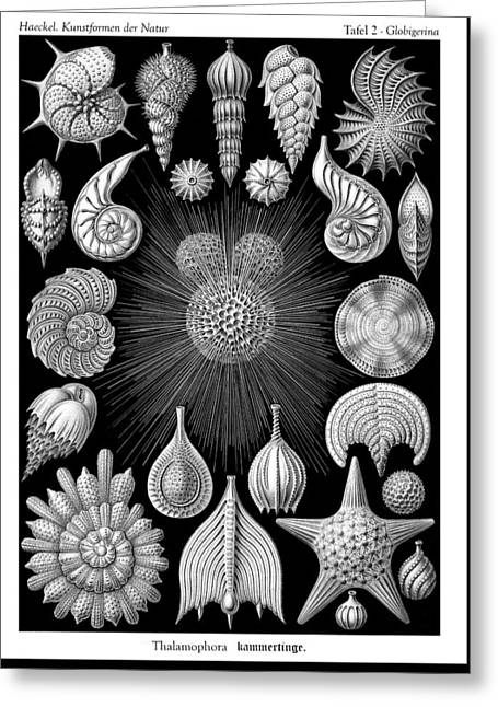 Kunstformen Der Natur Greeting Cards - Ernst Haeckel - Thalamorpha Plate Greeting Card by Ambro Fine Art