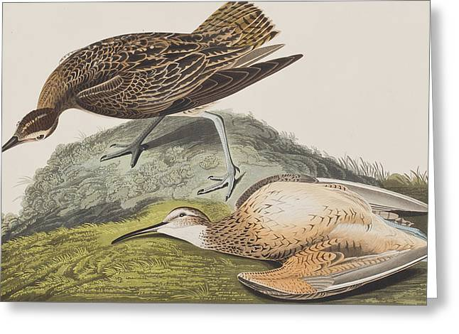 Taxonomy Greeting Cards - Esquimaux Curlew Greeting Card by John James Audubon