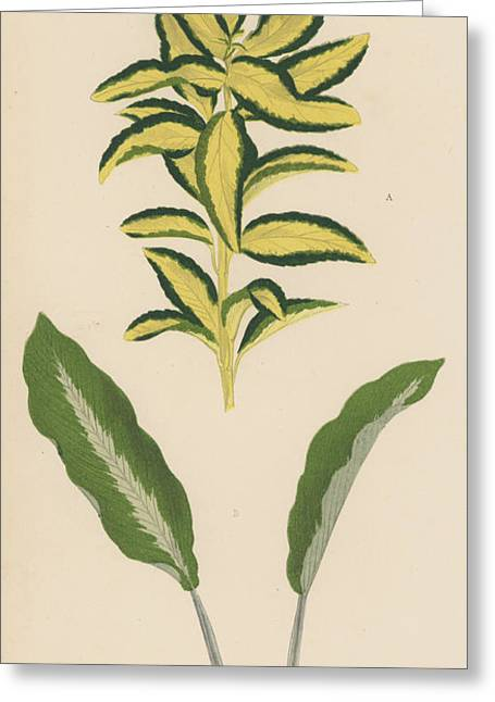 Euonymus Japonica Aurea Variegata, Maranta Micans Greeting Card by English School