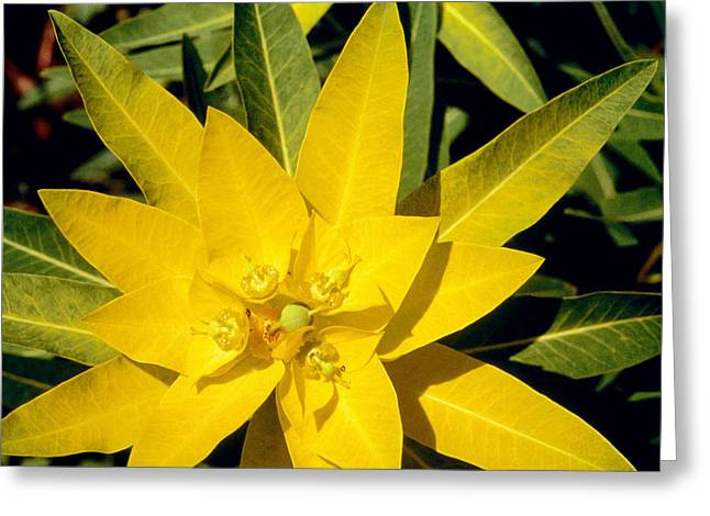 Flower Photos Greeting Cards - Euphorbia wallichii Greeting Card by American School