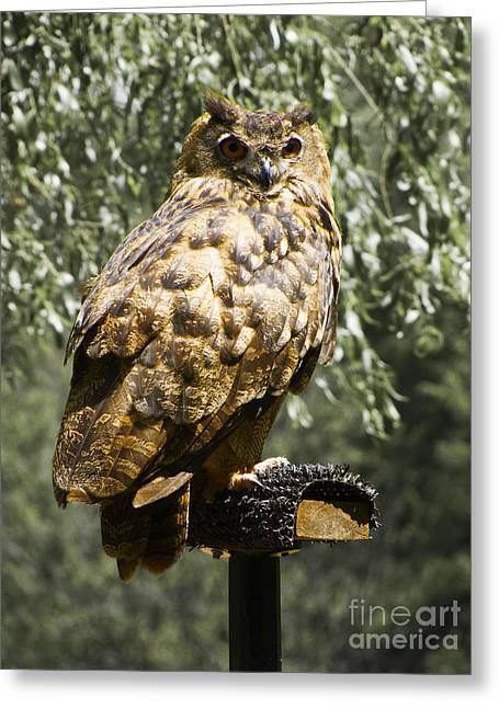 Kitten Prints Greeting Cards - Eurasian Eagle Owl Greeting Card by Phil Welsher
