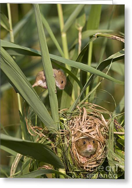 Mouse Photographs Greeting Cards - Eurasian Harvest Mice At Nest Greeting Card by Jean-Louis Klein & Marie-Luce Hubert