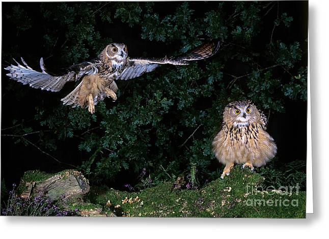 European Eagle Owl Bubo Bubo Greeting Card by Gerard Lacz