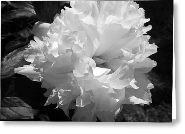 Indiana Flowers Greeting Cards - Evening Peony Greeting Card by Tina M Wenger