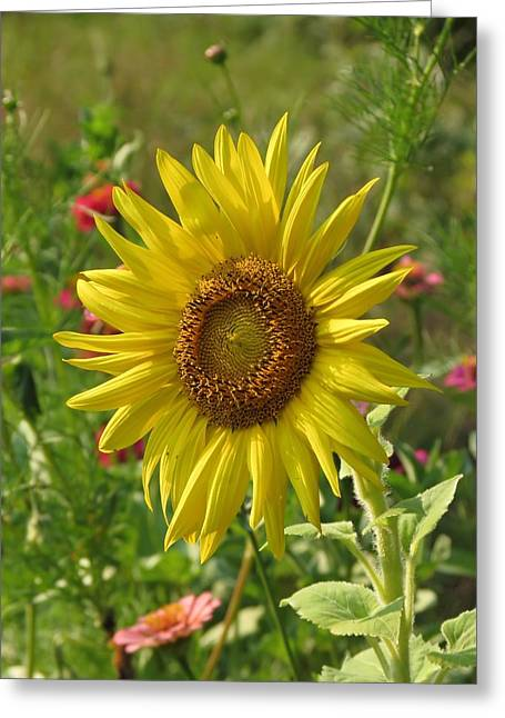 Nature Greeting Cards - Evening Sunflower Greeting Card by MTBobbins Photography