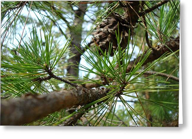 Pine Needles Greeting Cards - Evergreen Greeting Card by Kathy Bucari