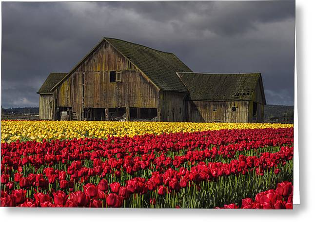 Tulip Fields Greeting Cards - Everlasting Blooms Greeting Card by Mark Kiver