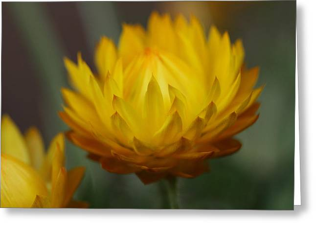 Compositae Greeting Cards - Everlasting Greeting Card by Connie Handscomb