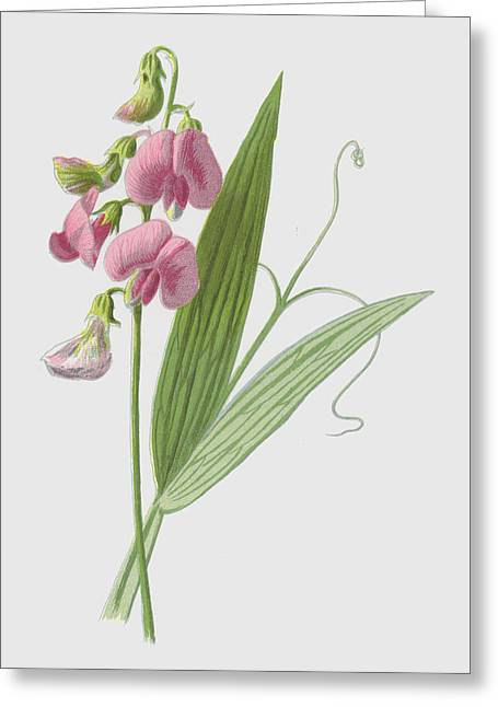 Everlasting Pea Greeting Card by Frederick Edward Hulme