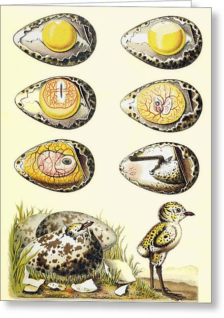 Fertilization Drawings Greeting Cards - Evolution Of A Chicken Within An Egg Greeting Card by Ken Welsh
