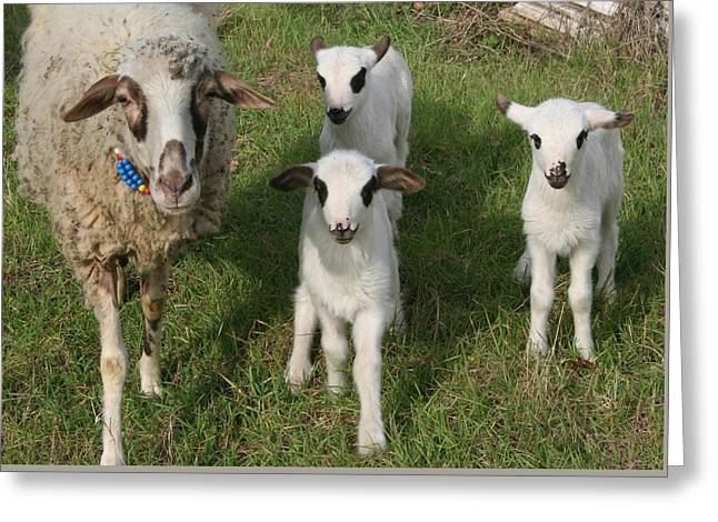 Naivety Greeting Cards - Ewe and Three Lambs Making Eye Contact Greeting Card by Tracey Harrington-Simpson
