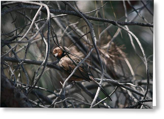 Brown Towhee Greeting Cards - Excuse Me? Greeting Card by Christian Alvez