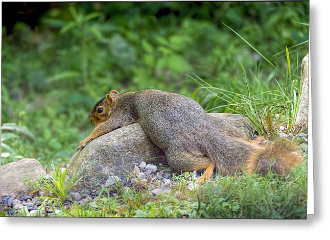 Wild Orchards Greeting Cards - Exhausted Hot Squirrel  Greeting Card by LeeAnn McLaneGoetz McLaneGoetzStudioLLCcom