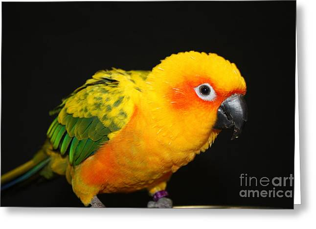 Shades Of Red Greeting Cards - Sun Conure Greeting Card by John Telfer