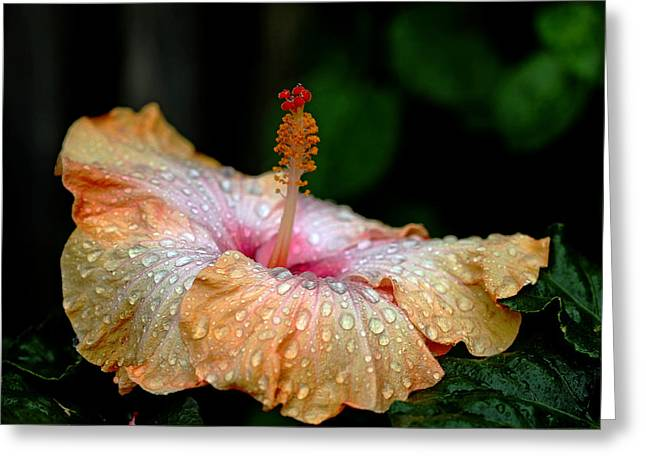 Nature Center Greeting Cards - Exotic Hibiscus Greeting Card by Debbie Oppermann