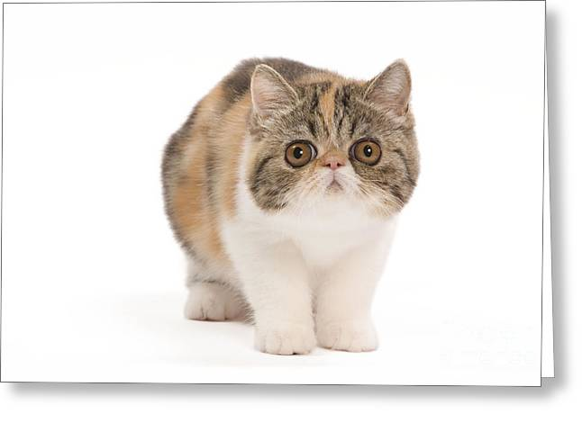 Tortie Greeting Cards - Exotic Shorthair Kitten Greeting Card by Jean-Michel Labat