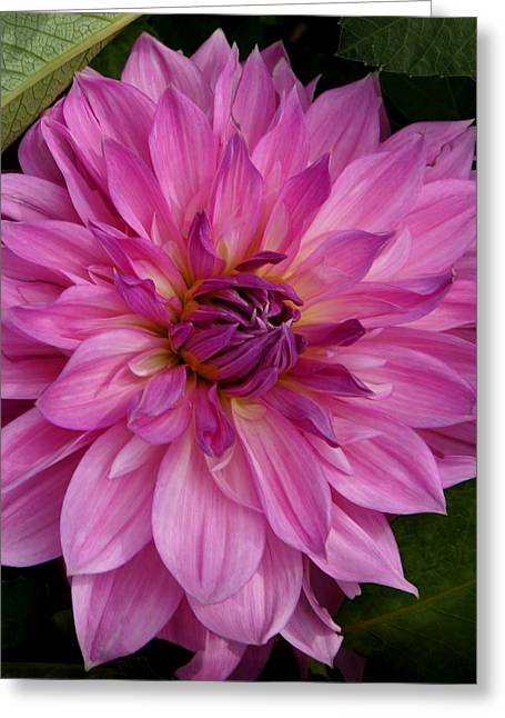 Dinner-plate Dahlia Greeting Cards - Exquisite Greeting Card by Patricia Strand
