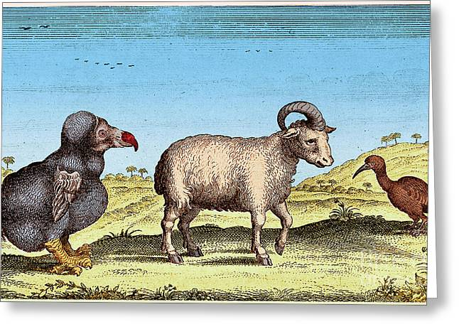 Raphus Cucullatus Greeting Cards - Extinct Dodo, One-horned Sheep, Red Greeting Card by Science Source