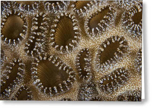 Undersea Photography Photographs Greeting Cards - Extreme Close-up Of A Crust Anemone Greeting Card by Terry Moore