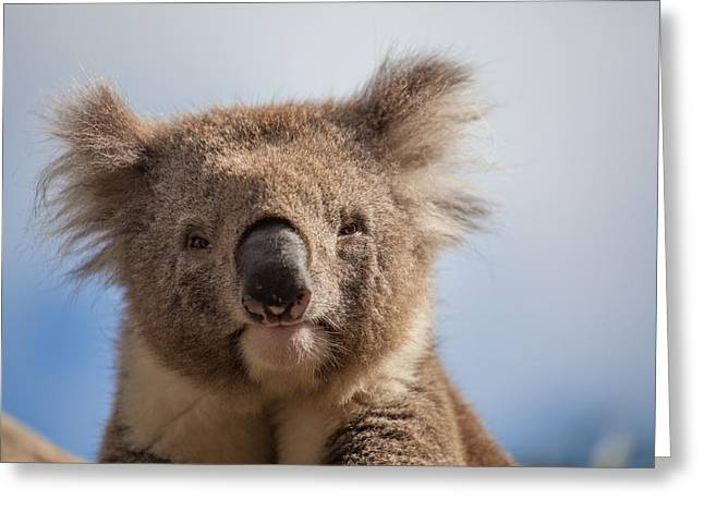 Australian Ethnicity Greeting Cards - Extreme closeup of Koala Greeting Card by Greg Brave