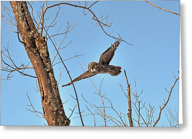 Hunting Bird Greeting Cards - Eye-contact with the Great Gray Owl in-flight Greeting Card by Asbed Iskedjian