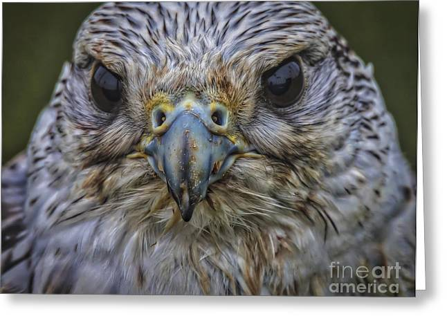Hunting Bird Greeting Cards - Eye To Eye Greeting Card by Mitch Shindelbower