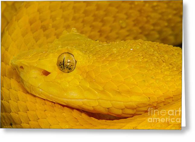 """yellow Eyes"" Greeting Cards - Eyelash Viper Greeting Card by Todd Bielby"